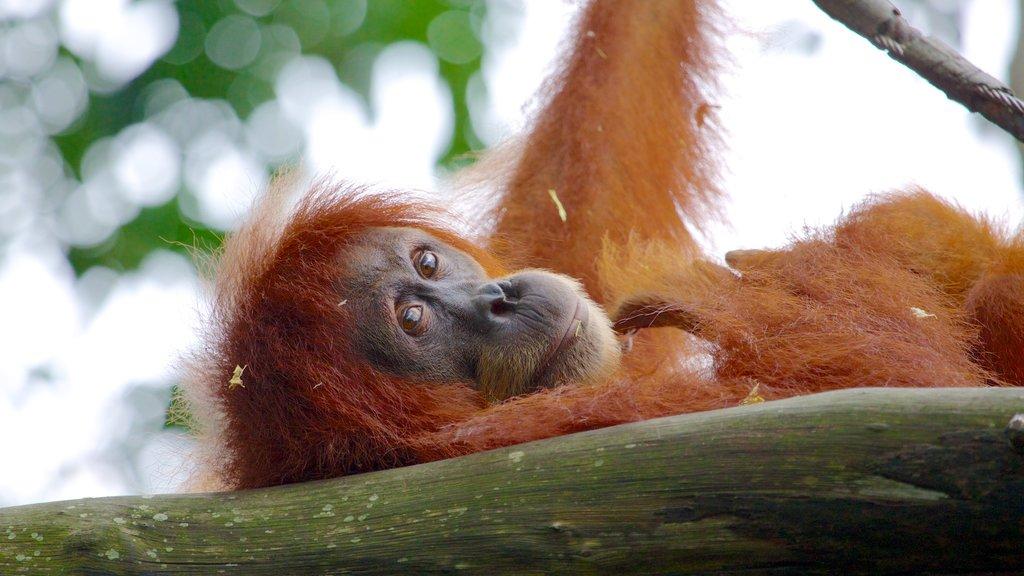 Singapore Zoo showing zoo animals