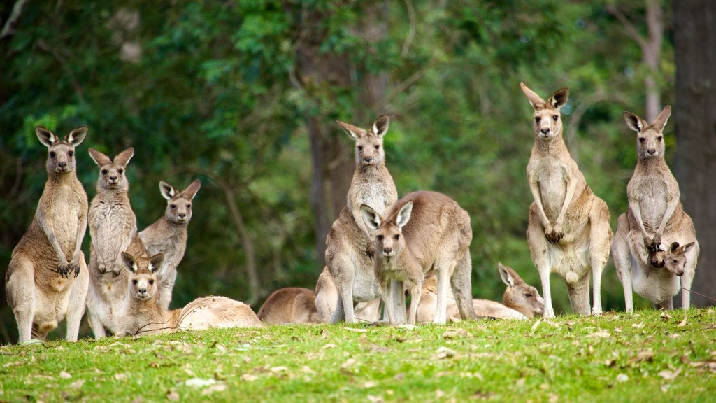 Lone Pine Koala Sanctuary showing land animals and zoo animals