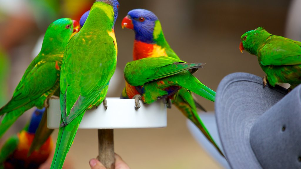 Lone Pine Koala Sanctuary featuring zoo animals and bird life
