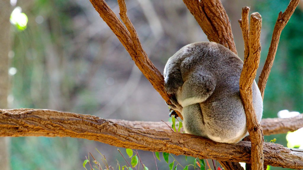Lone Pine Koala Sanctuary featuring cuddly or friendly animals
