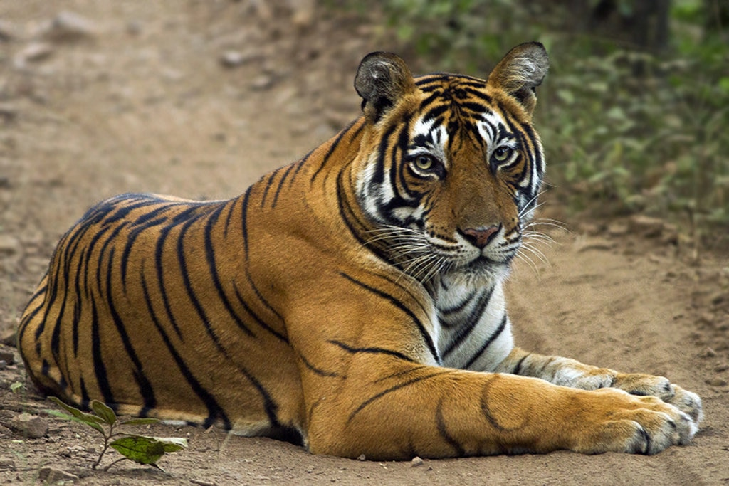 Una tigre a Ranthanbore, Sawai Madhopur, Rajasthan, India - By Dibyendu Ash - CC BY-SA 3.0, https://commons.wikimedia.org/w/index.php?curid=36164997