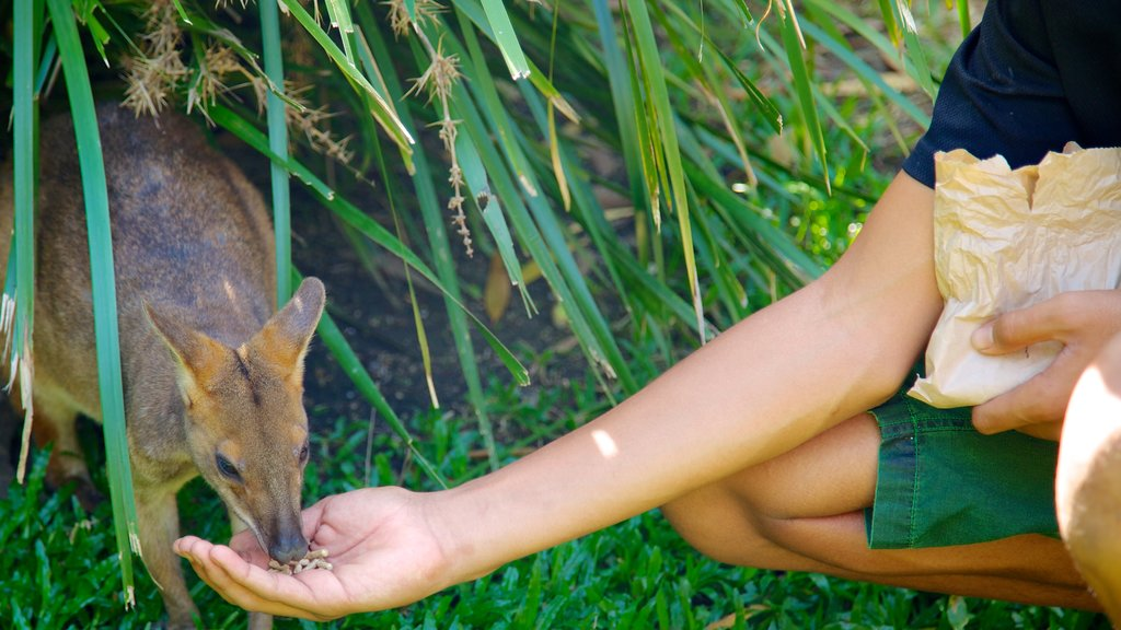 Cairns Tropical Zoo mostrando animales del zoológico y animales tiernos y también una mujer