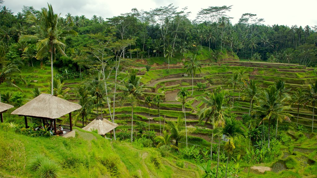 Tegallalang Village featuring farmland, tropical scenes and landscape views