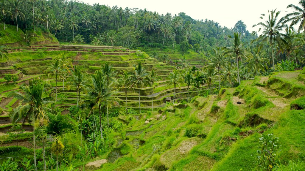 Tegallalang Village featuring farmland, landscape views and tropical scenes