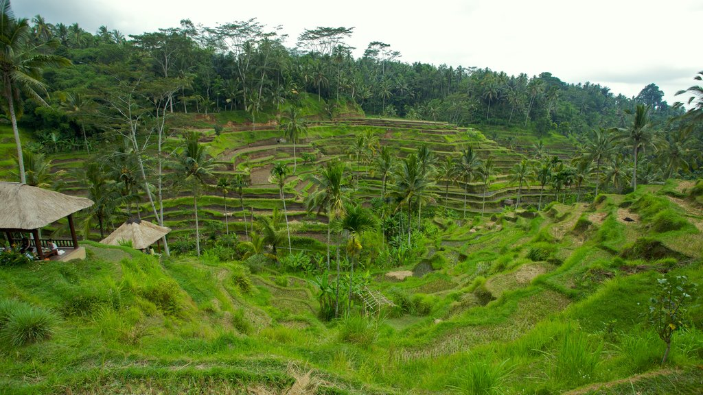 Tegallalang Village showing farmland and tropical scenes