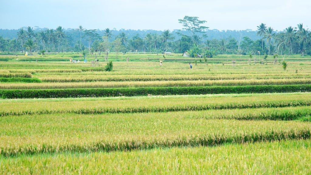 Bali featuring farmland