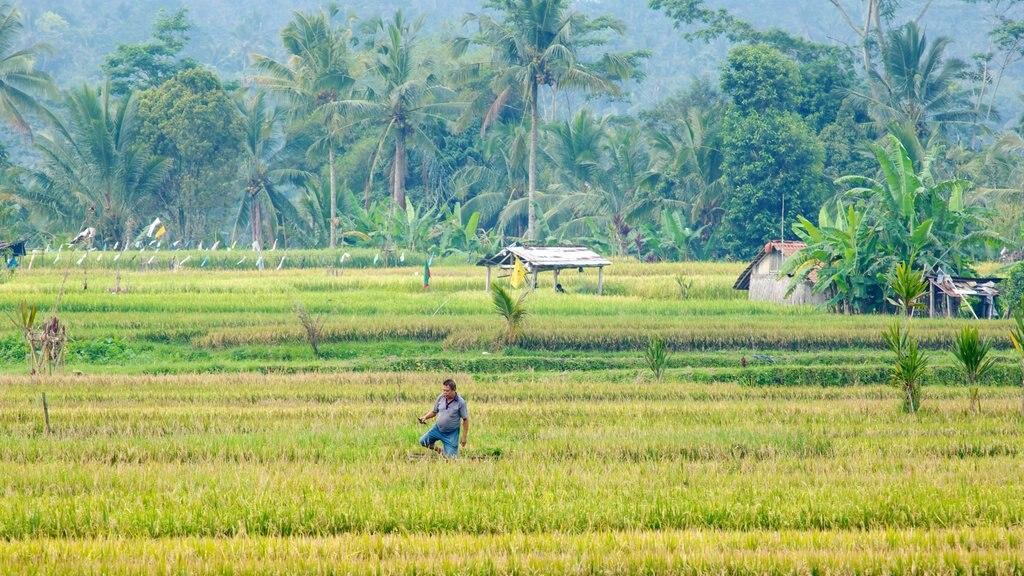 Bali featuring farmland as well as an individual male