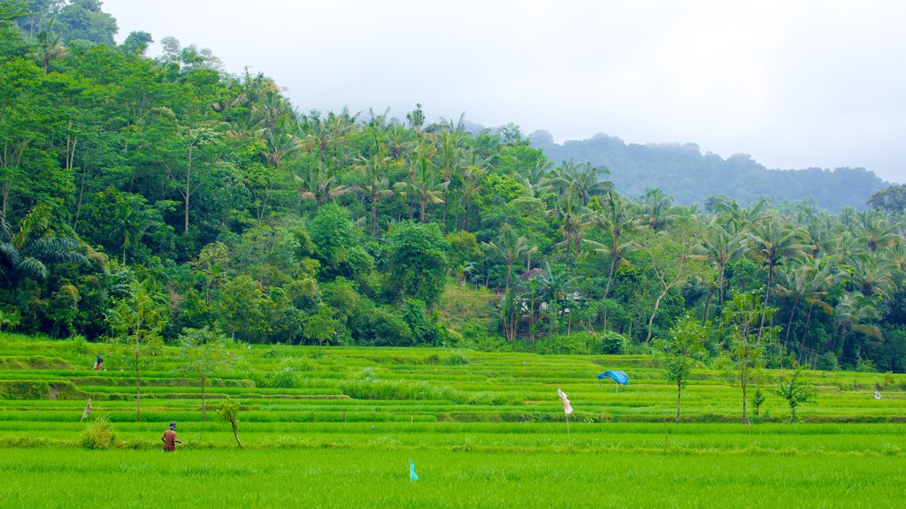 Lombok showing farmland and forest scenes