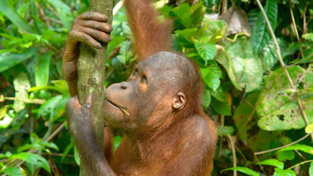 Sepilok Orang Utan Sanctuary showing cuddly or friendly animals and zoo animals