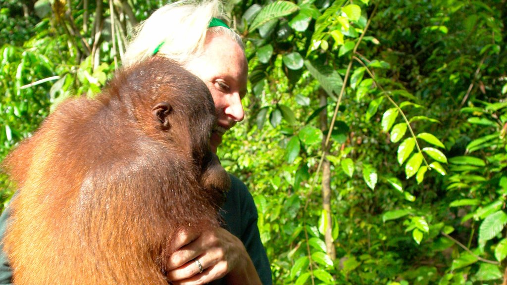 Sepilok Orang Utan Sanctuary showing cuddly or friendly animals and zoo animals as well as an individual femail