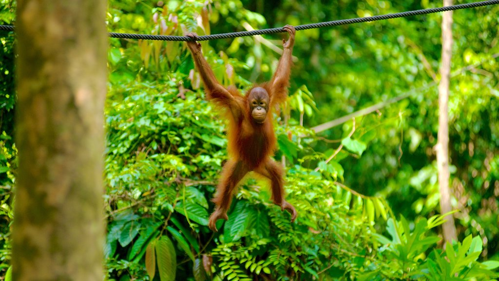 Sepilok Orang Utan Sanctuary showing cuddly or friendly animals and zoo animals