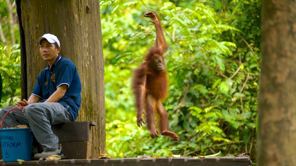 Sepilok Orang Utan Sanctuary featuring cuddly or friendly animals and zoo animals as well as an individual male