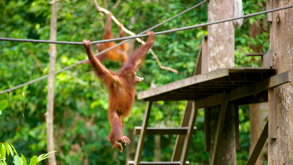Sepilok Orang Utan Sanctuary featuring zoo animals and cuddly or friendly animals