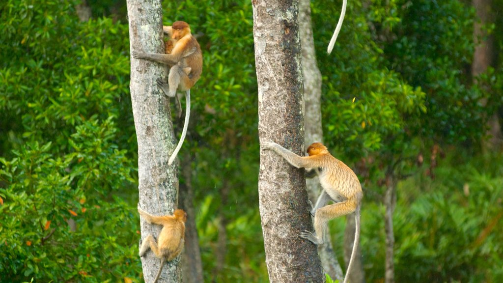 Labuk Bay Proboscis Monkey Sanctuary showing forests, cuddly or friendly animals and zoo animals