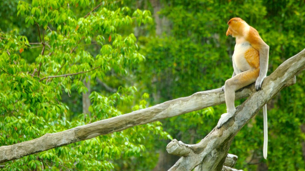Labuk Bay Proboscis Monkey Sanctuary which includes forest scenes, zoo animals and animals