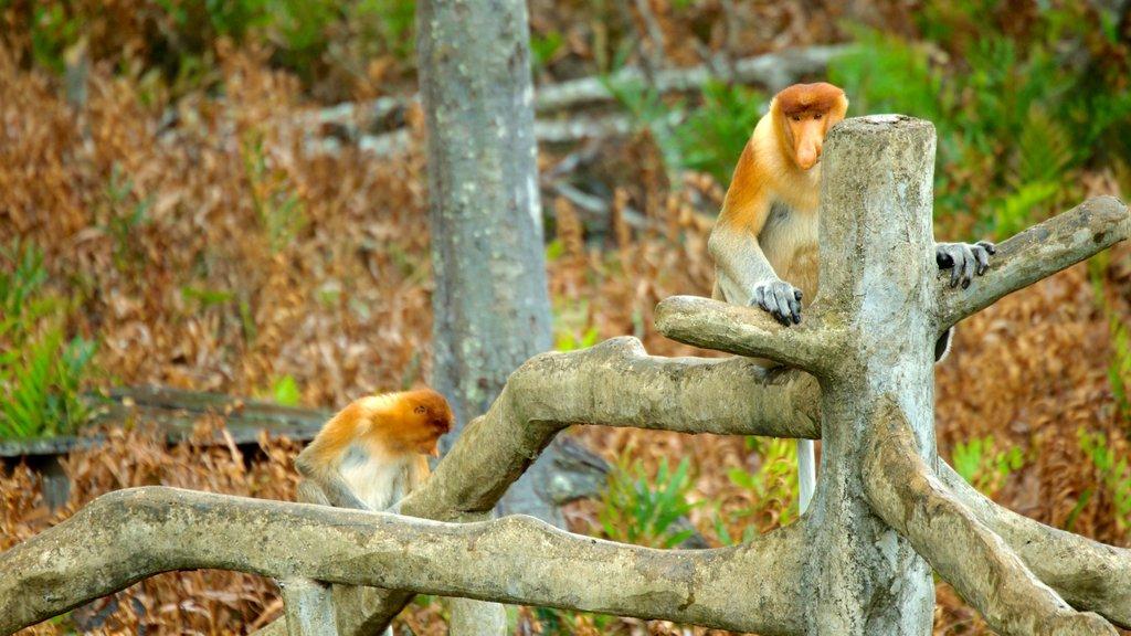 Labuk Bay Proboscis Monkey Sanctuary showing zoo animals, animals and cuddly or friendly animals