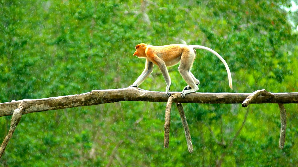 Labuk Bay Proboscis Monkey Sanctuary showing zoo animals, animals and cuddly or friendly animals