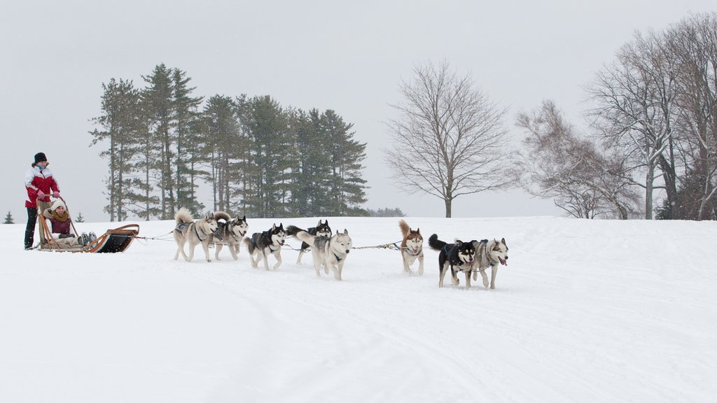 Pocono Mountains featuring snow, cuddly or friendly animals and dog sledding