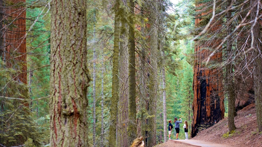 Big Trees Trail featuring forest scenes as well as a small group of people