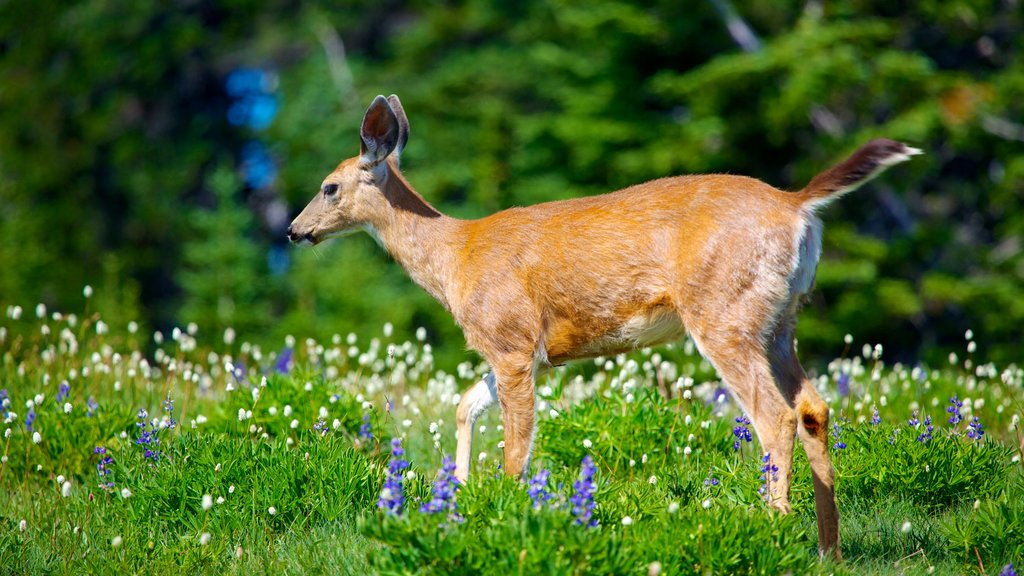Hurricane Ridge Visitors Center which includes land animals, wildflowers and cuddly or friendly animals
