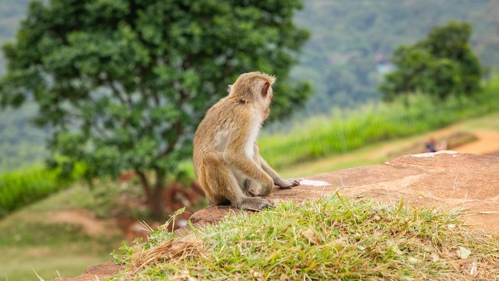 Sigiriya featuring cuddly or friendly animals