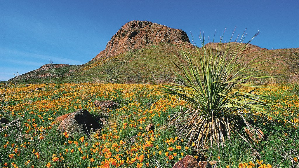 El Paso featuring mountains and wildflowers