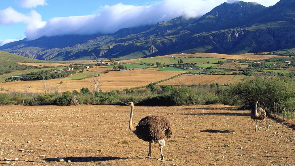 Oudtshoorn featuring farmland, mountains and tranquil scenes