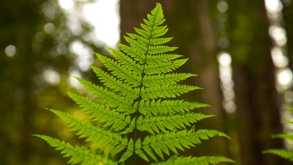 Parque nacional y parques estatales de Redwood mostrando escenas forestales