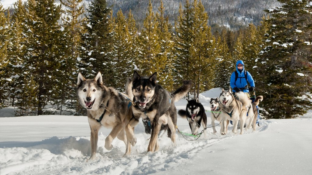 Big Sky Resort showing snow and dog sledding as well as an individual male