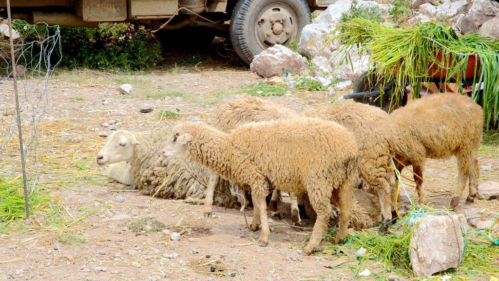 Urubamba showing cuddly or friendly animals