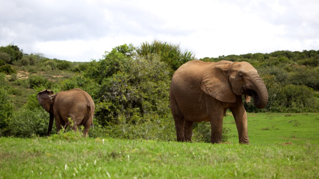 Addo Elephant National Park featuring land animals and a park