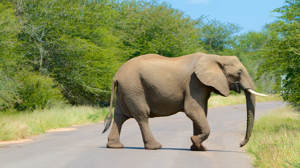 Kruger National Park featuring safari adventures and land animals