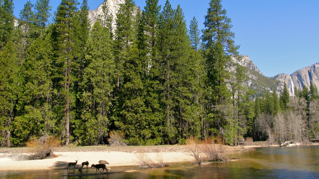 Yosemite Valley featuring landscape views, a river or creek and forest scenes