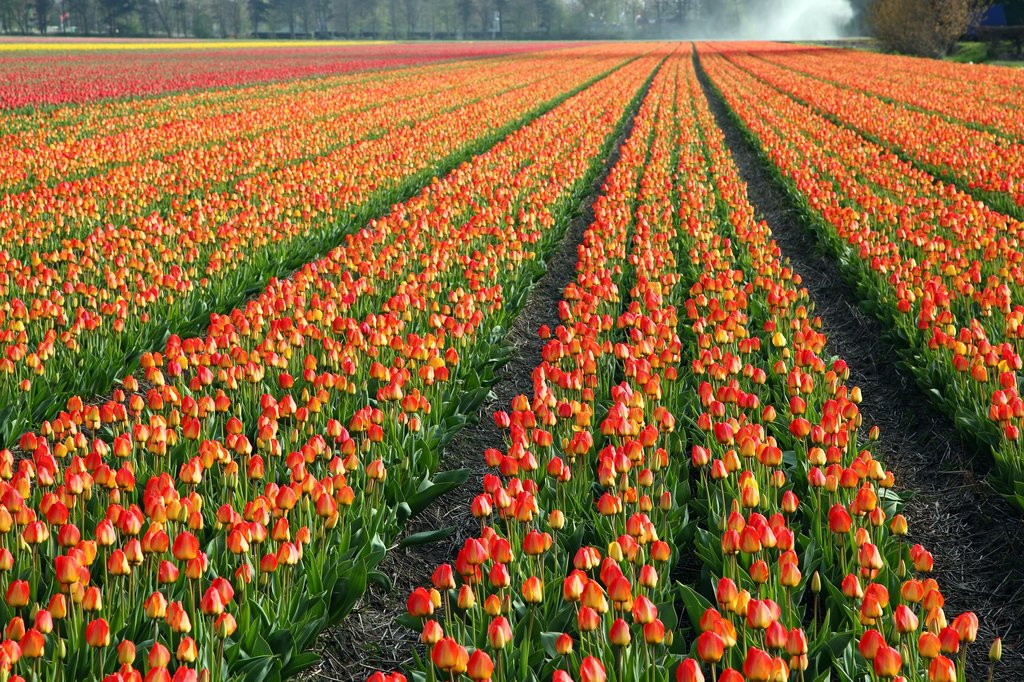 Tulips near Amsterdam