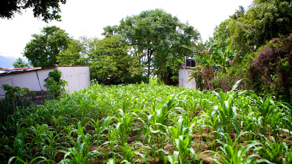 San Pedro La Laguna featuring farmland