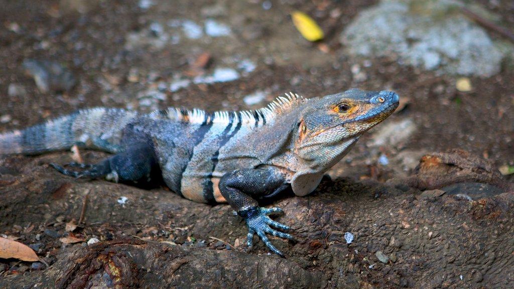 Playa del Coco que incluye animales