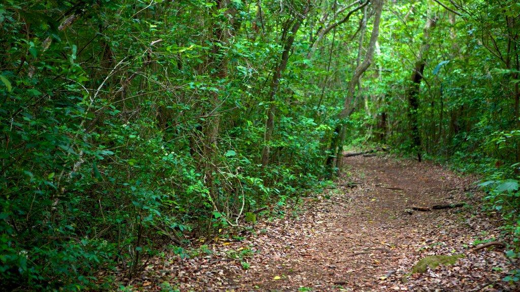 Rincon de la Vieja National Park featuring forest scenes and rainforest