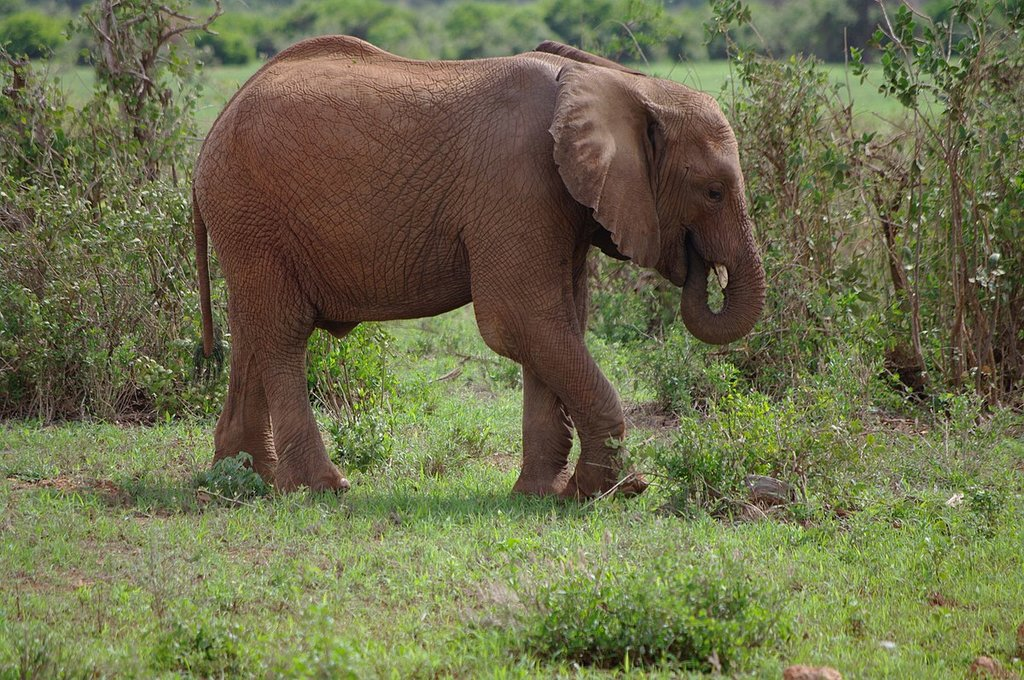 Elefante in Kenya (By D Heaysman, CC BY 3.0, https://commons.wikimedia.org/w/index.php?curid=54510282)