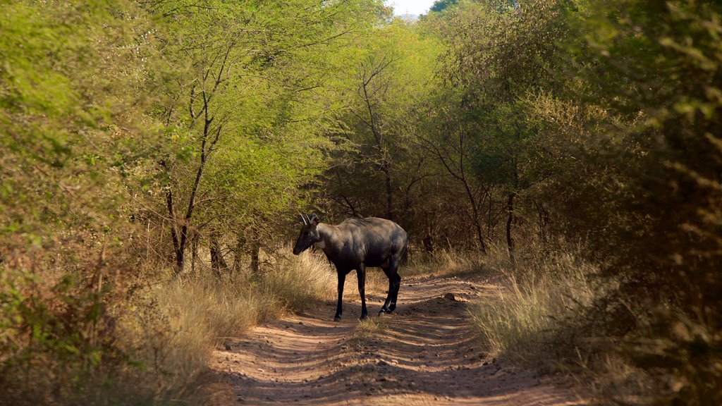 Ranthambore National Park which includes tranquil scenes and safari adventures