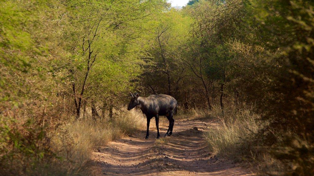 Parque Nacional Ranthambore mostrando escenas tranquilas y aventuras de safari