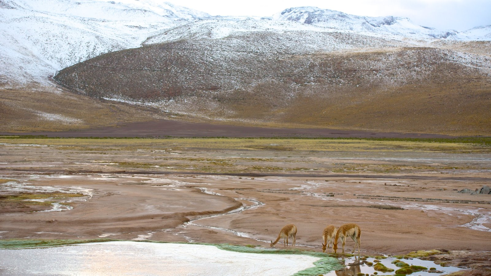 El Tatio Geyser Field featuring animals, mountains and a pond