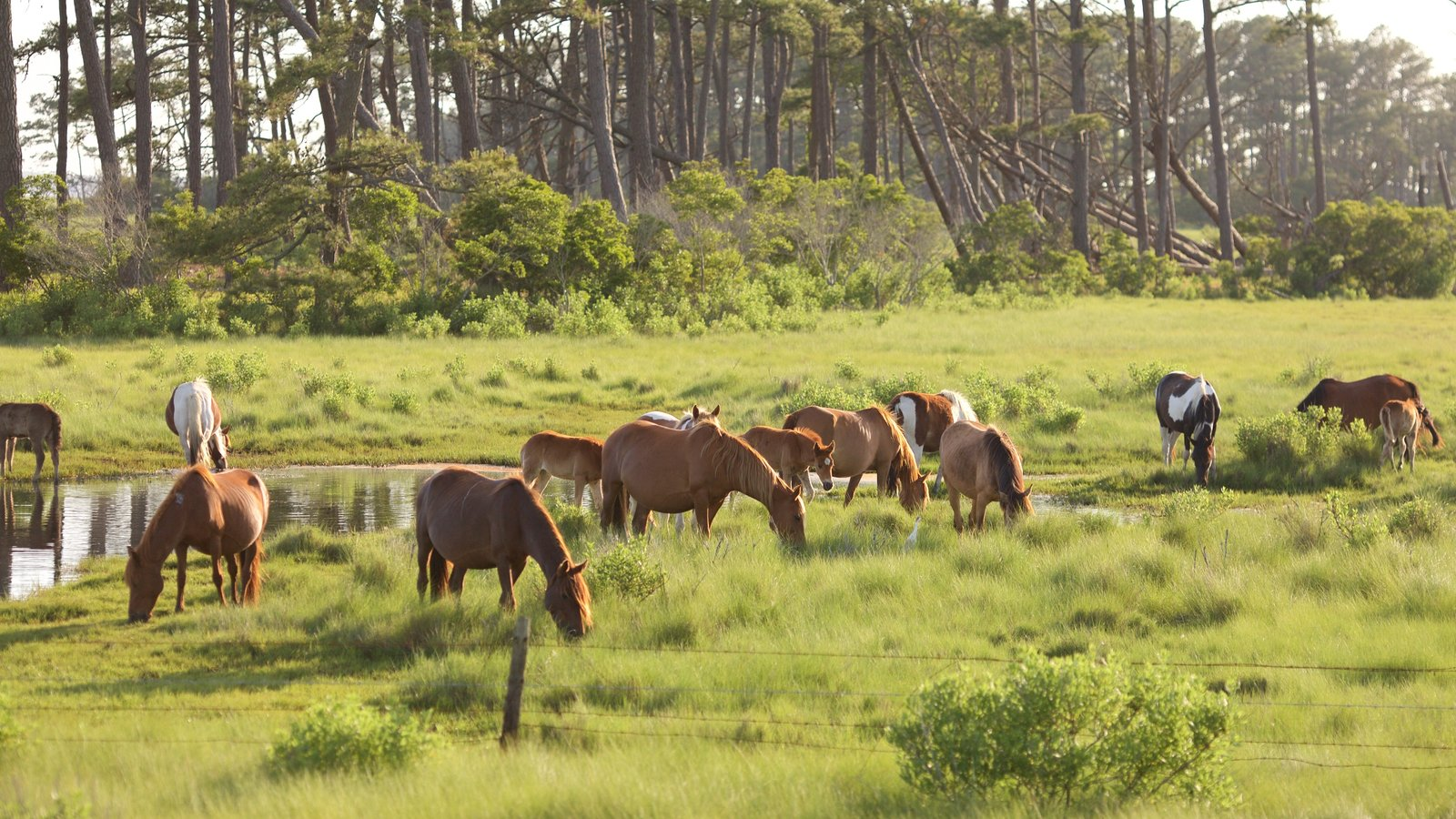 Assateague Island National Seashore showing tranquil scenes, a pond and land animals