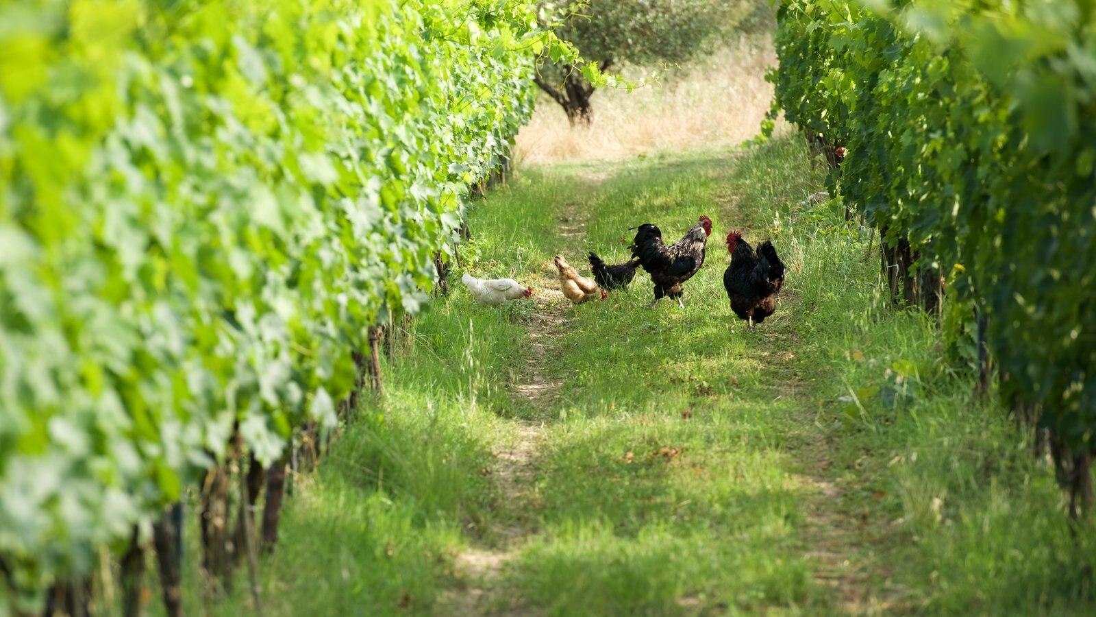 Castellina in Chianti which includes farmland and animals