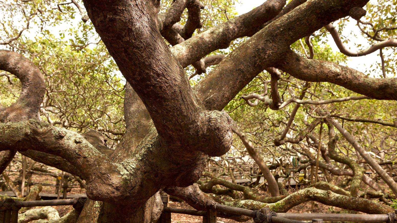 Cajueiro de Pirangi que inclui mangues