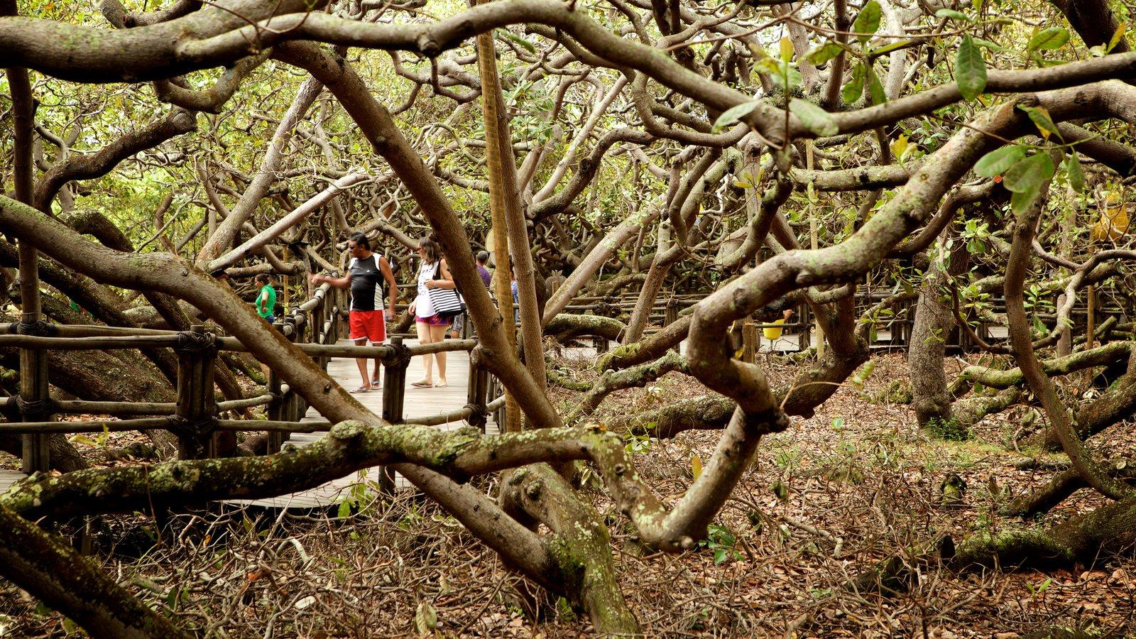 Cajueiro de Pirangi caracterizando mangues
