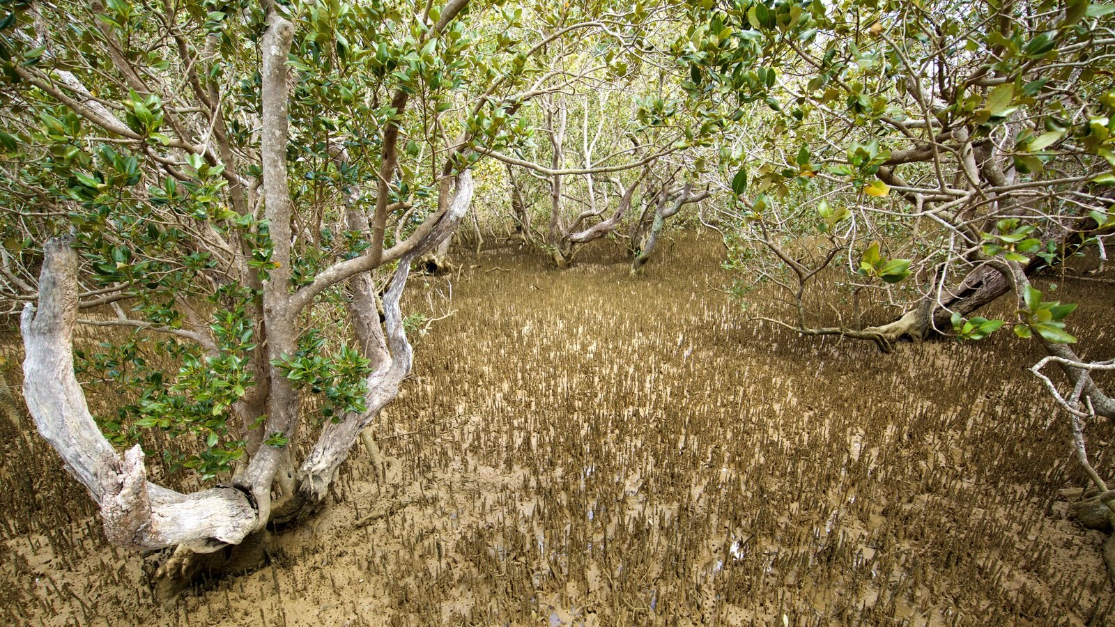 Paihia que incluye manglares