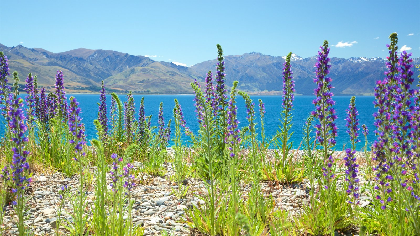 Lake Hawea featuring wildflowers, a lake or waterhole and mountains