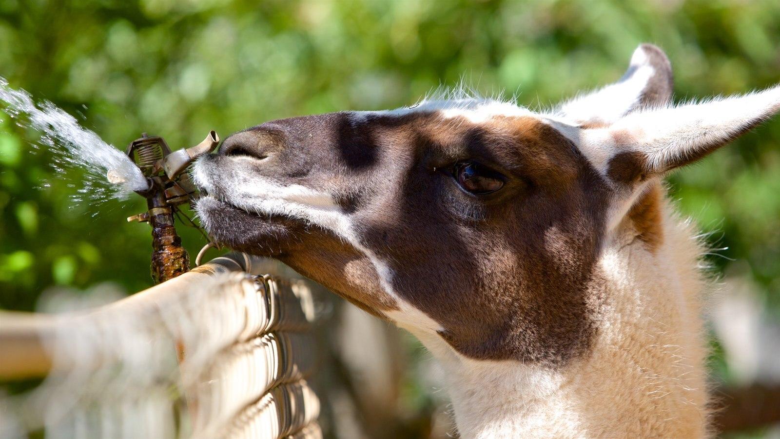 West Coast Game Park Safari caracterizando animais fofos ou amigáveis e animais de zoológico