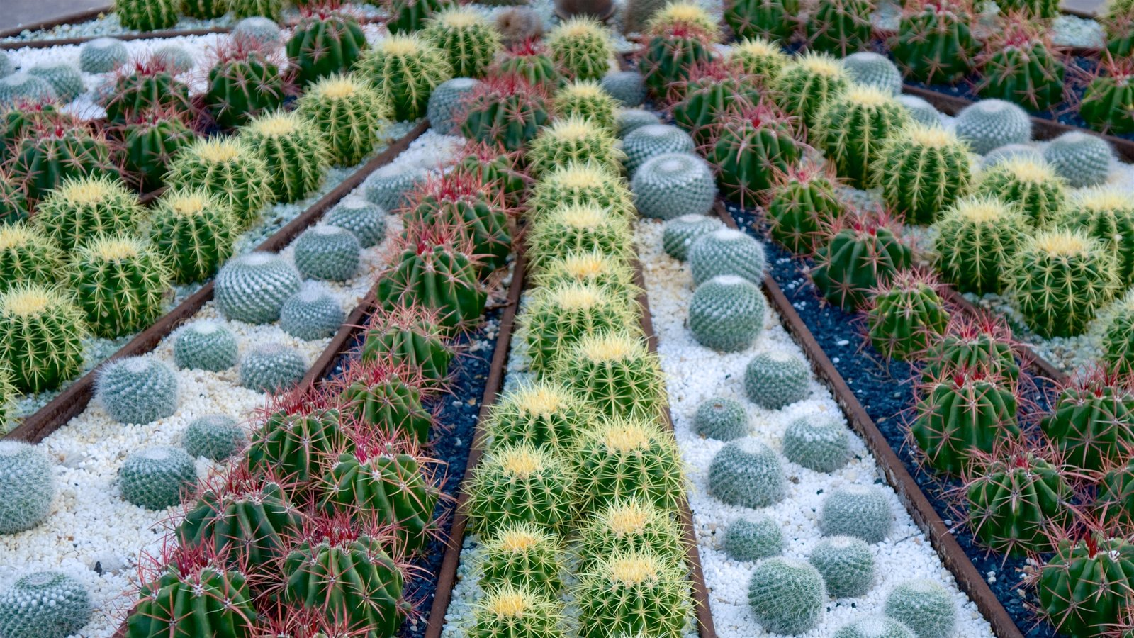 Desert Botanical Garden caracterizando paisagens do deserto e um jardim
