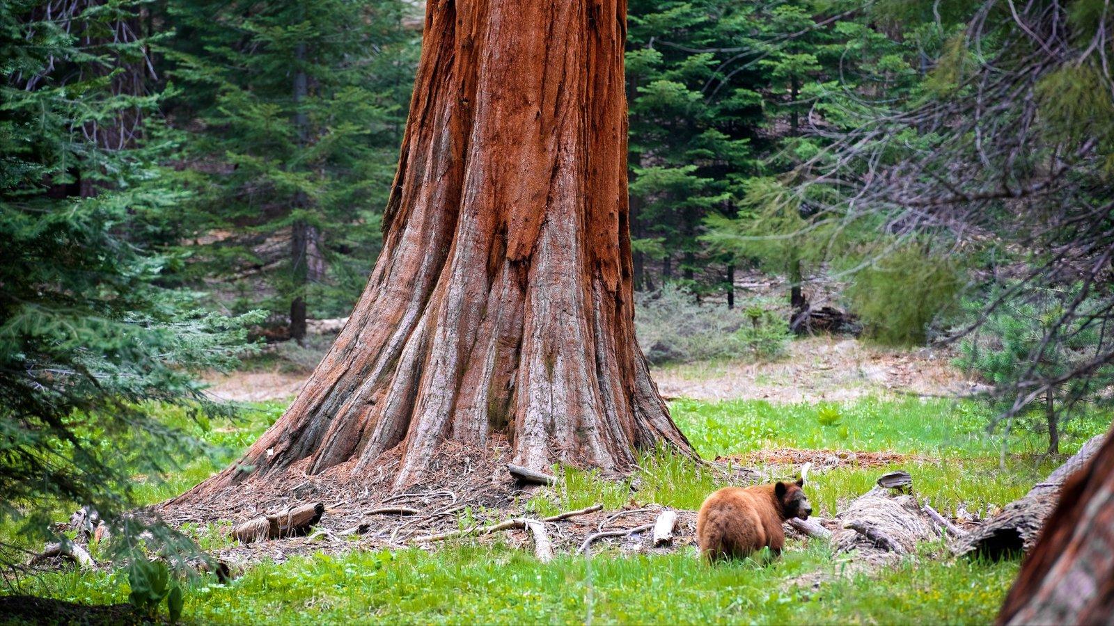 Sequoia National Park mostrando animais perigosos e cenas de floresta